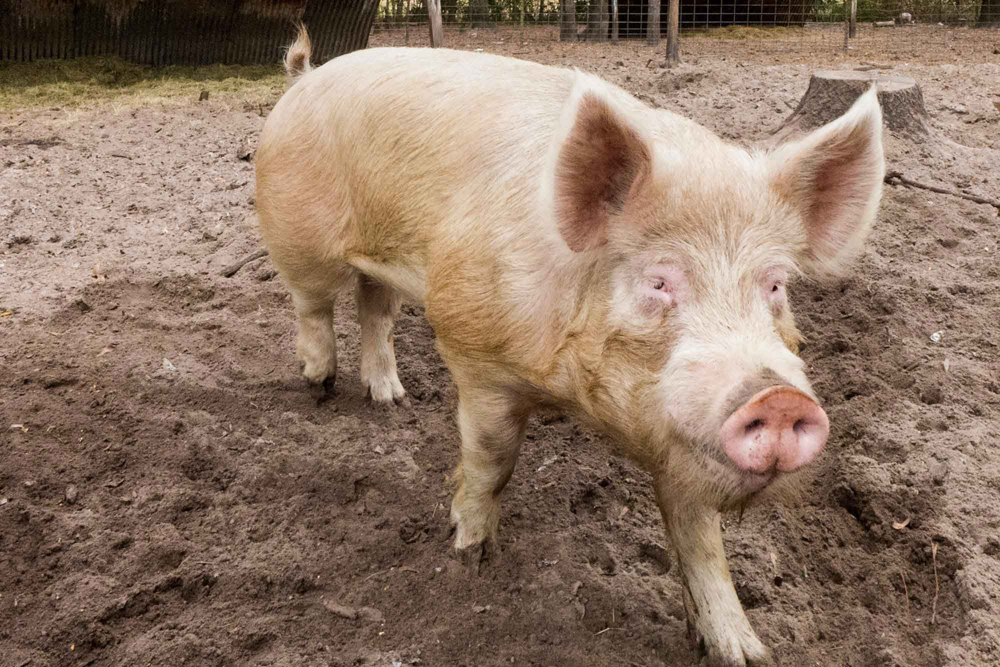 Living over a pig sty taught me about war and death